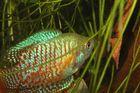 Fisch im grünen