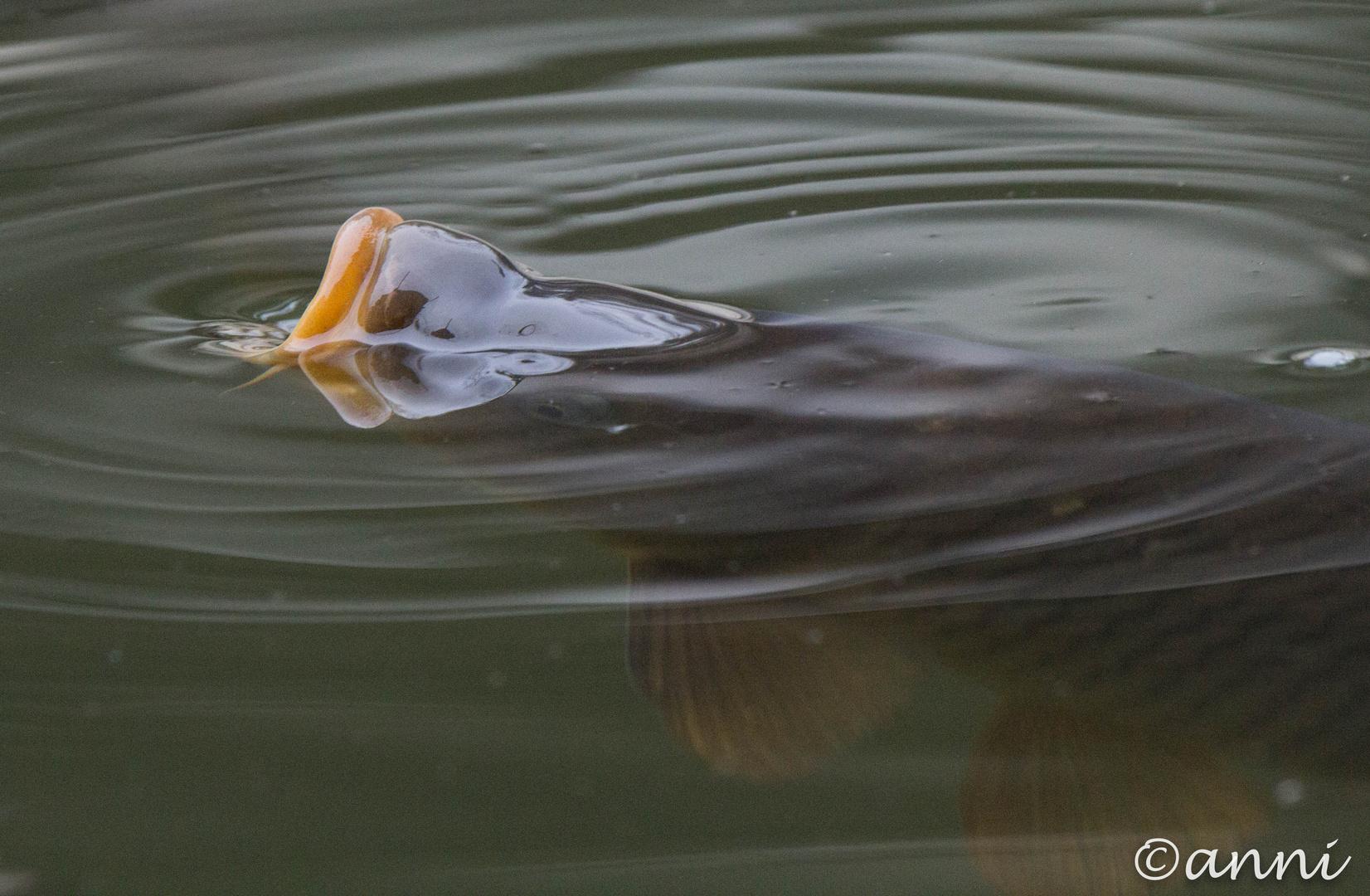 Fisch schnappt nach Luft