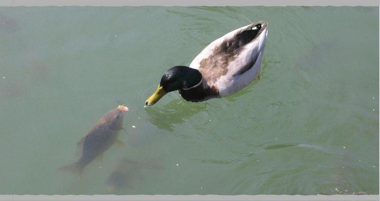 Fisch und Ente