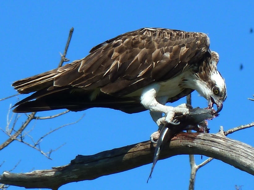 Fischadler bei der Mahlzeit, Lovers Key, Florida