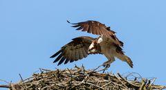 Fischadler im Anflug auf seinen Horst
