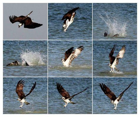 Fischadler in Aktion, aber ohne Erfolg