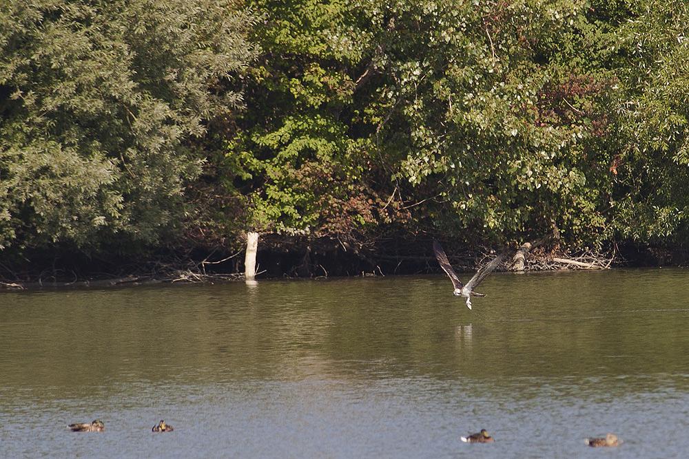 Fischadler in Baden-Württemberg