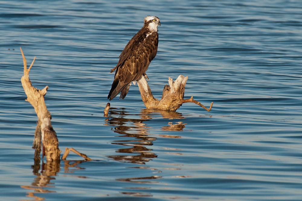 Fischadler in der Oase Dakhla