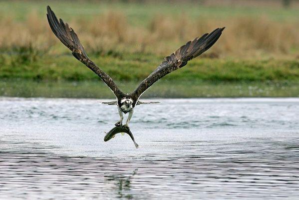 Fischadler mit Bachforelle