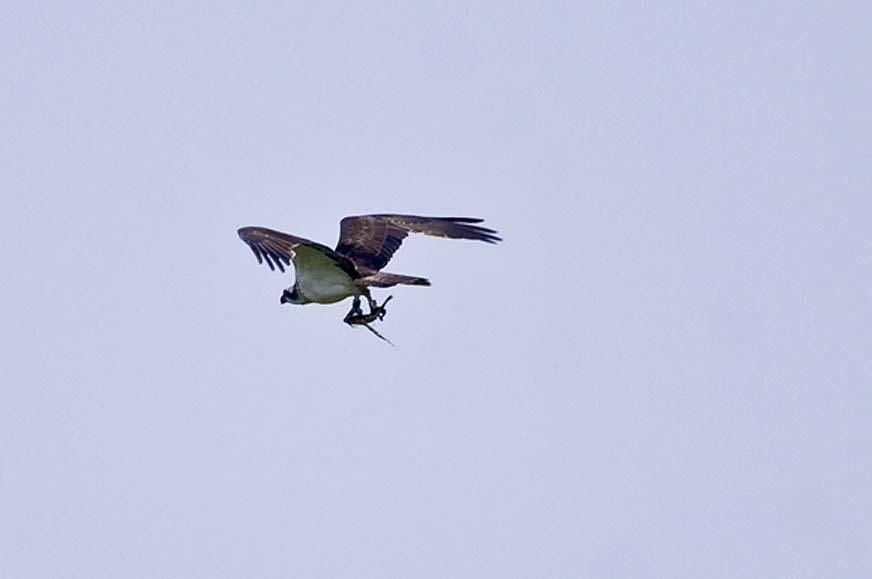 Fischadler mit Beute