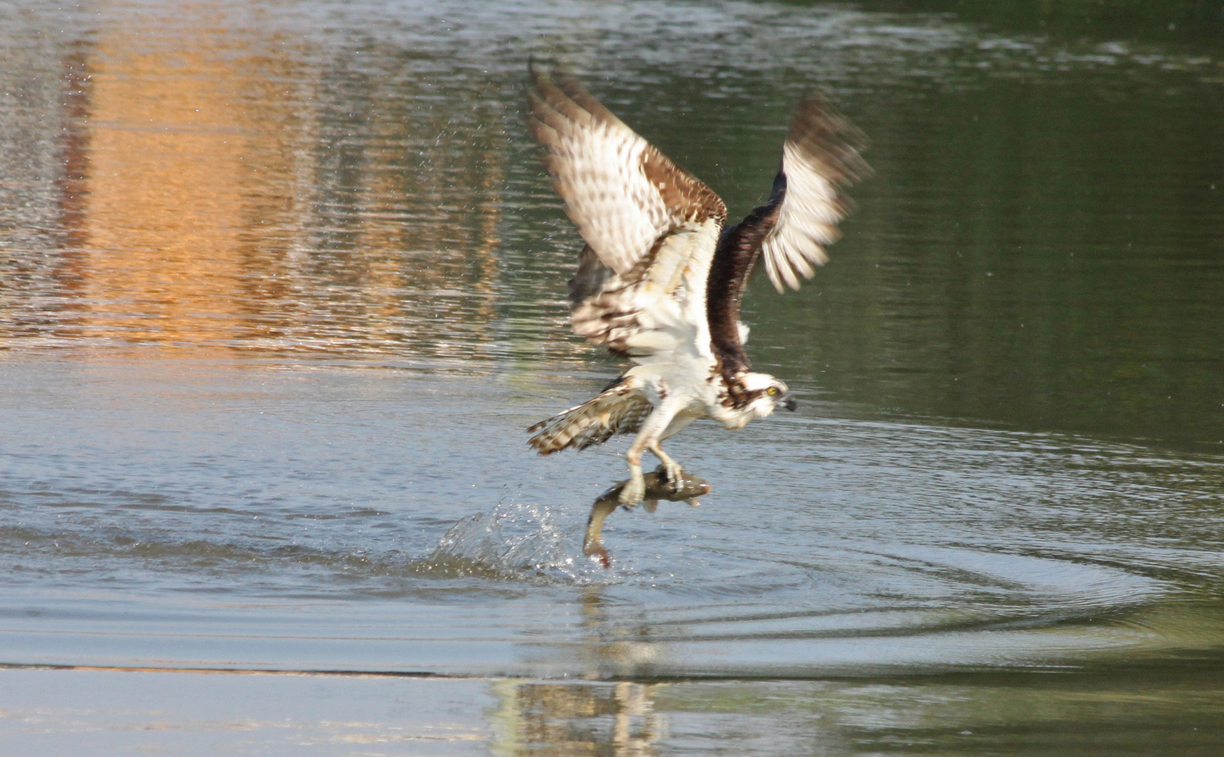 Fischadler mit Beuteerfolg