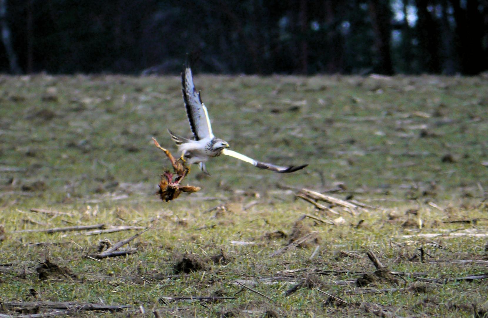Fischadler mit Restmahlzeit, ...