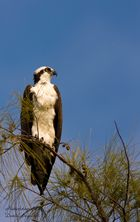 Fischadler (Sanibel, Fort Myers)
