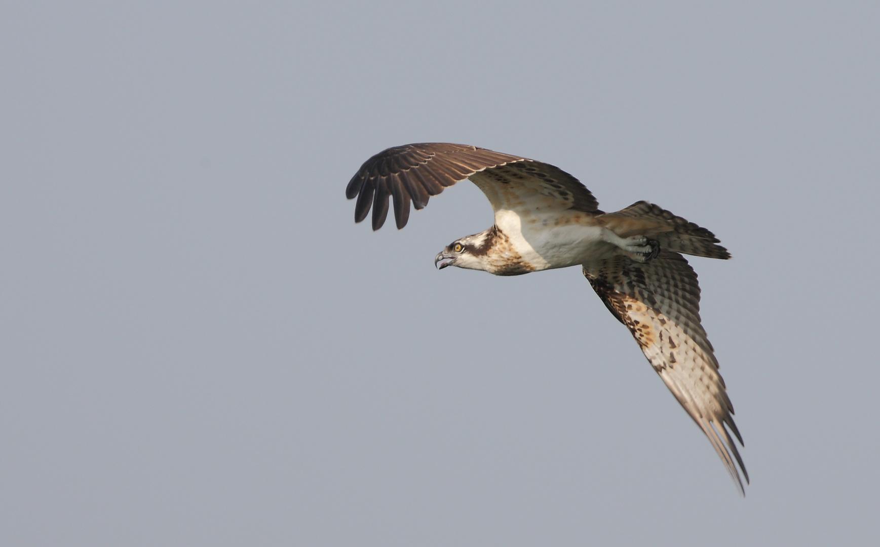 Fischadler Wagb.