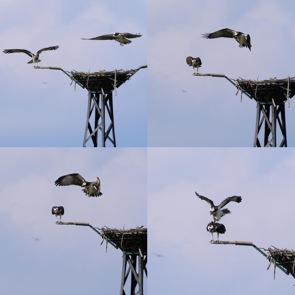 Fischadlerpaar bei der Nachwuchssicherung #1