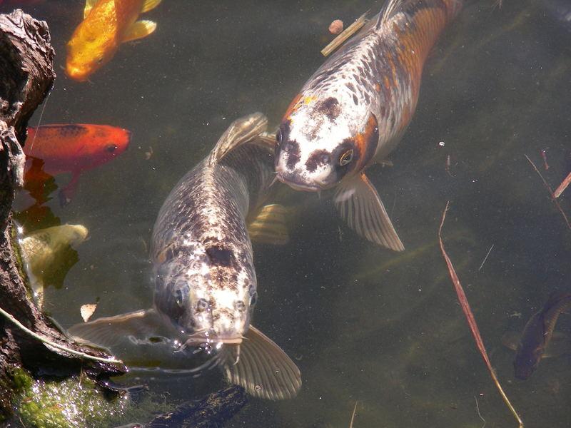 Fische im Gartenteich