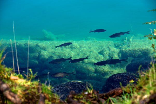Fische im Hintersteiner See