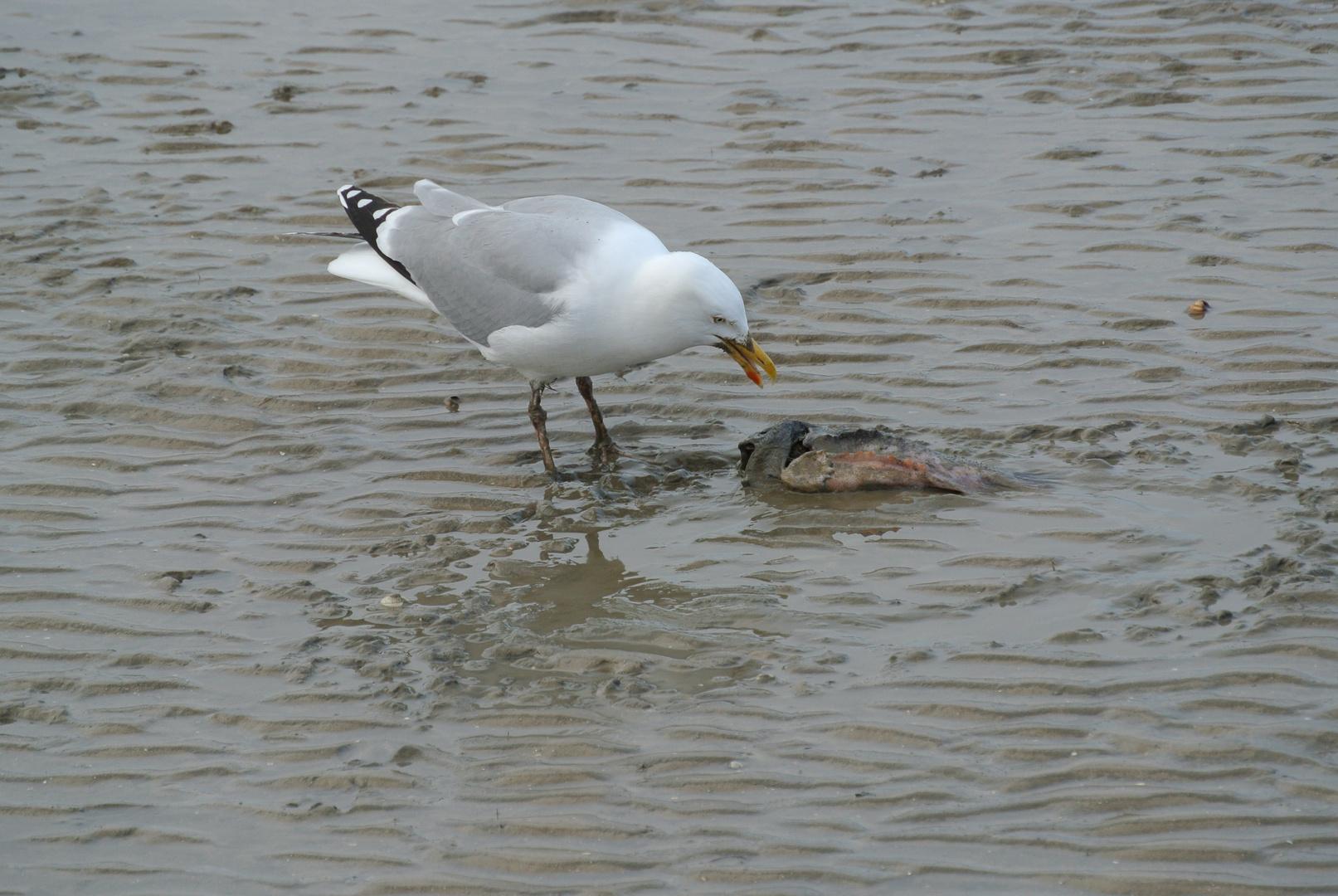 Fischmahlzeit im Watt