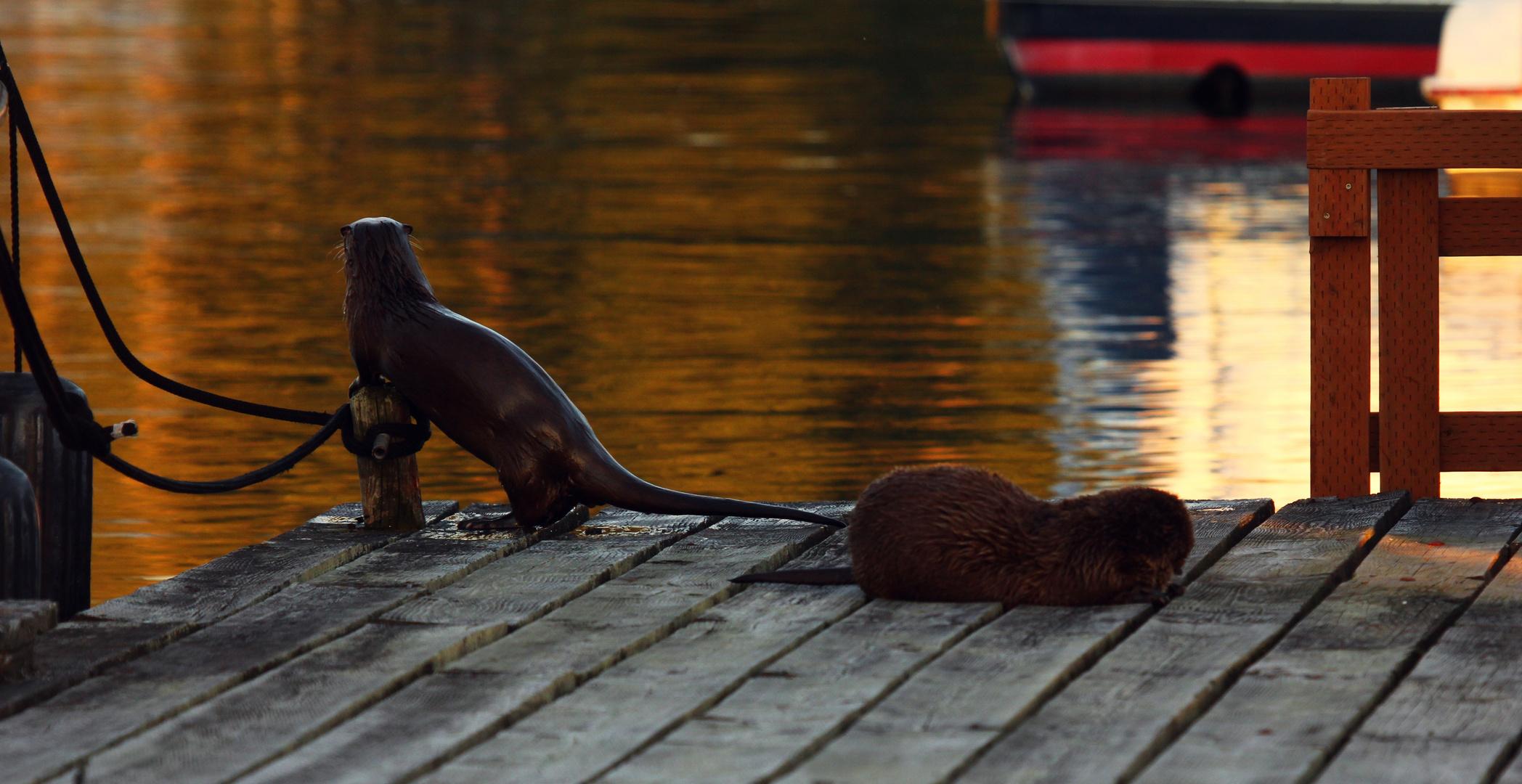 Fischotter auf dem Bootssteg