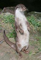Fischotter im Kölner Zoo wartet auf Verpflegung