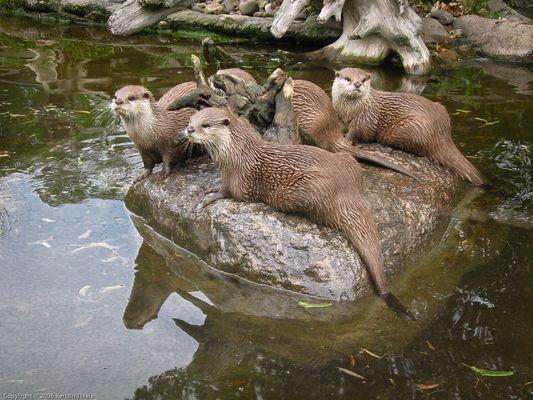 Fischotter im Zoo Dresden