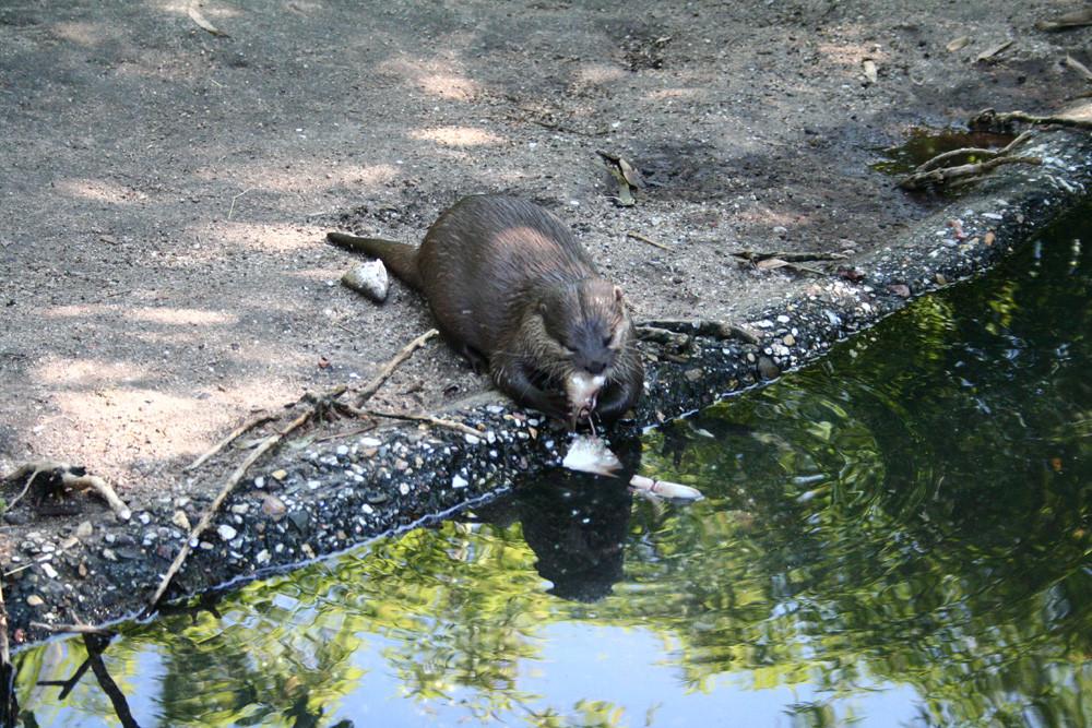 Fischotter im Zoo Duisburg