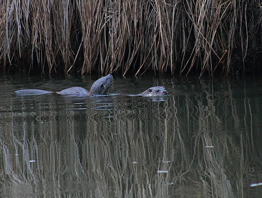 Fischotter Wildlife 2