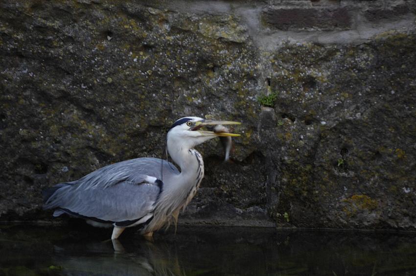 Fischreier beim Fressen