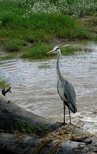 Fischreier in der Serengeti