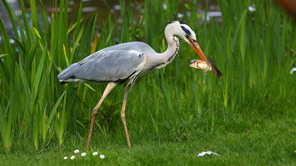 Fischreiher beim frühstück.........