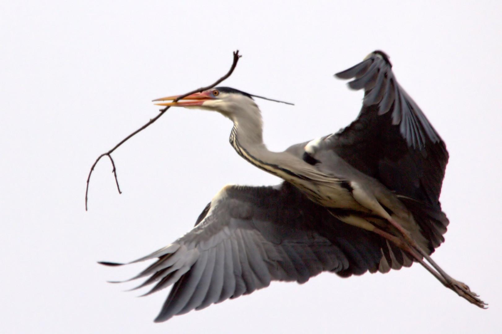 Fischreiher beim Nestbau