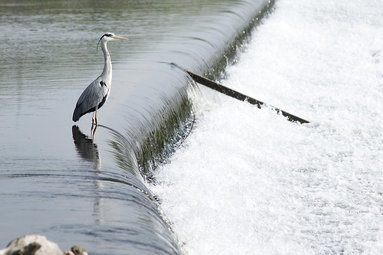Fischreiher in der Ruhr