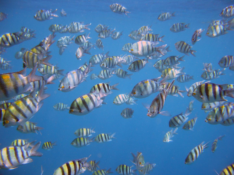 Fischschwarm im Roten Meer