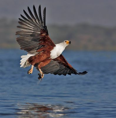 Fish eagle showing his catch