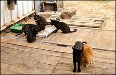 Fishermen's cats