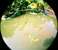 Fisheye Of The Goldfisch
