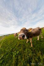 Fisheye-shoot mit einer Allgäuer Kuh