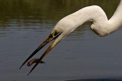 Fishing Great White Egret