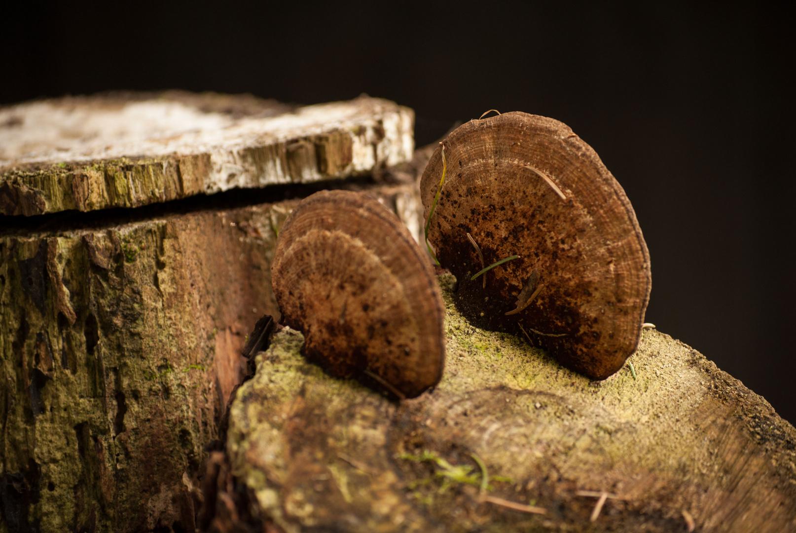 Flacher pilz auf einem Baumstumpf
