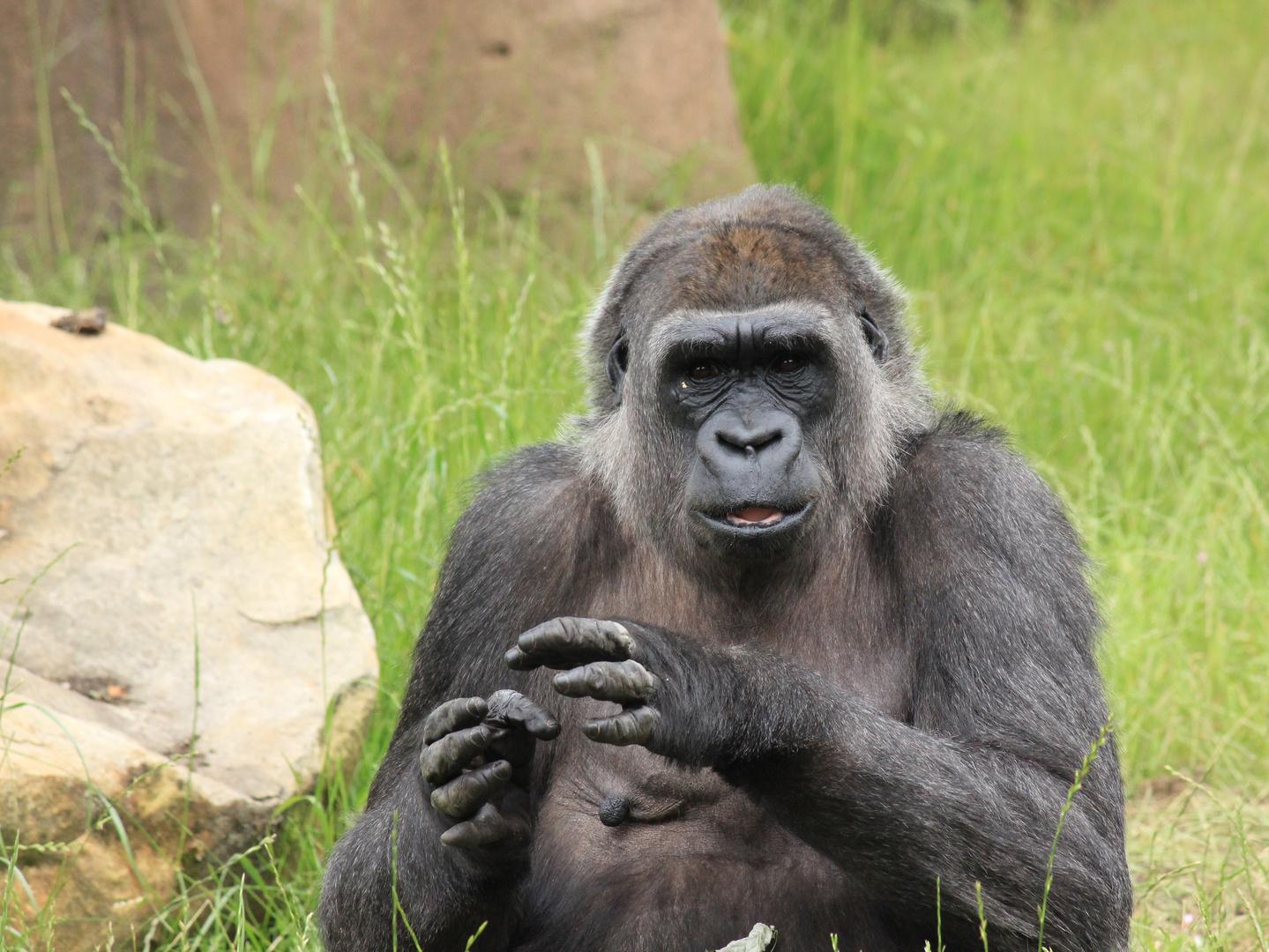 Flachland-Gorilla Zoo Krefeld