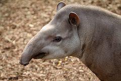 Flachland Tapir