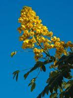Flamboyan amarillo, Gelbe Akacien