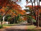 Flamboyant - Flammenbaum Allee