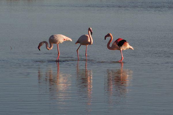 Flamencos rosa