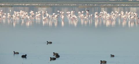 flaments roses dans un lac