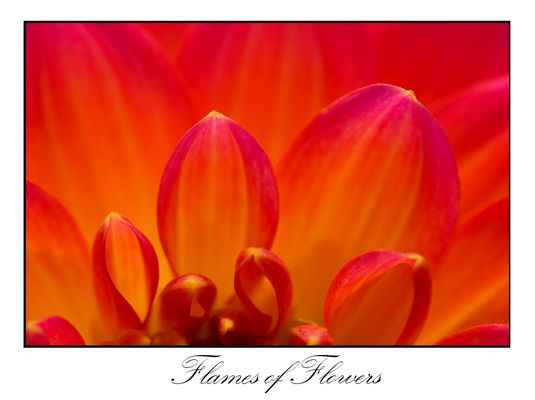 Flames of Flowers