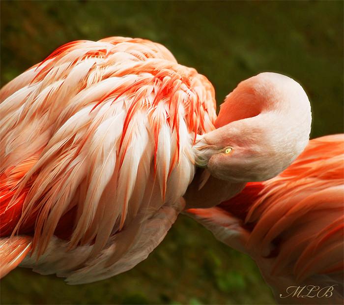 Flamingo 1 Saarbruecken Zoo