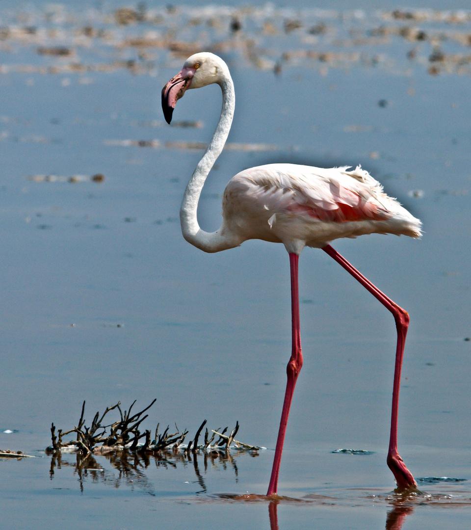 Flamingo........