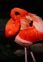 """Flamingo"""
