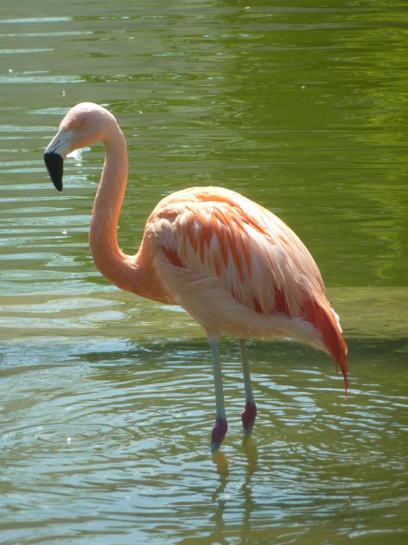 Flamingo auf dem Killesberg in Stuttgart