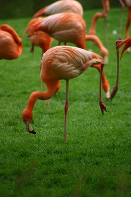Flamingo auf einem Bein