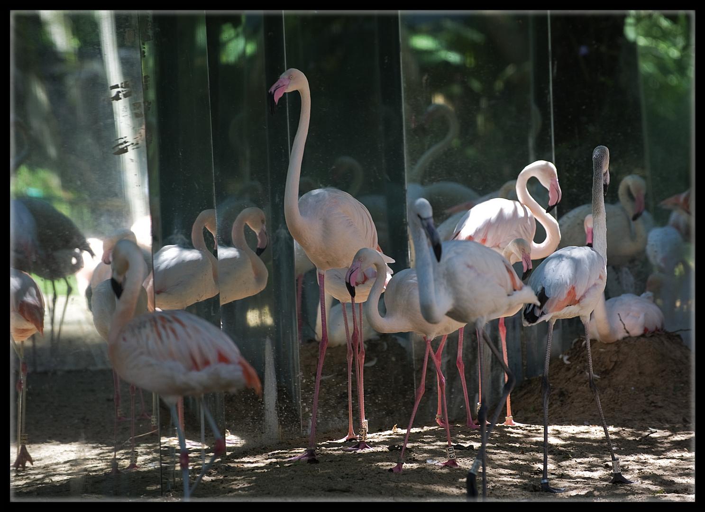 Flamingo Ballett