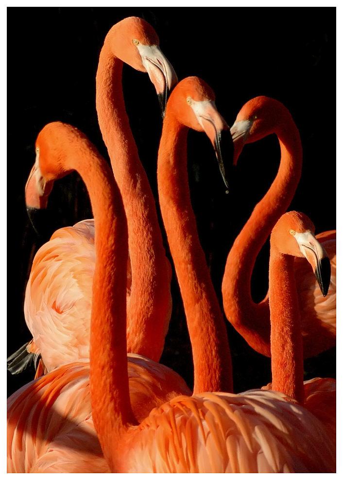 """Flamingo-Ballett"""