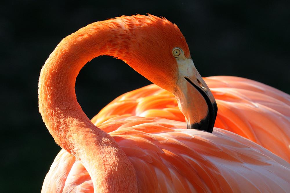 Flamingo bei der Pflege